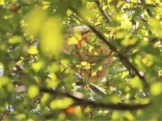 Vespas destroem colmeias e castanheiros
