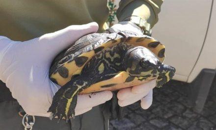 Tartaruga exótica resgatada pela GNR em Arouca